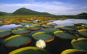 brésil - Pantanal - nénuphars
